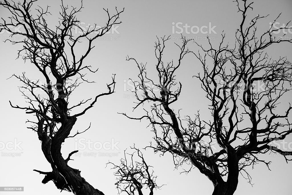 Leafless & Dried Out Single Leaf Pinyon Tree royalty-free stock photo