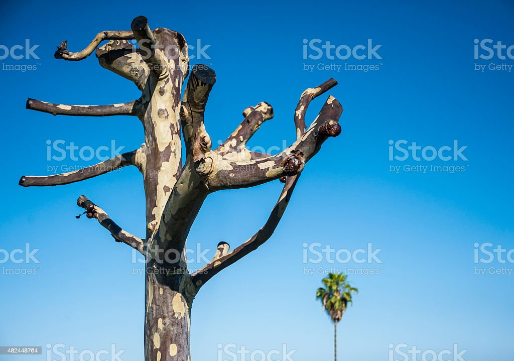 Leafless Eucalyptus Tree stock photo