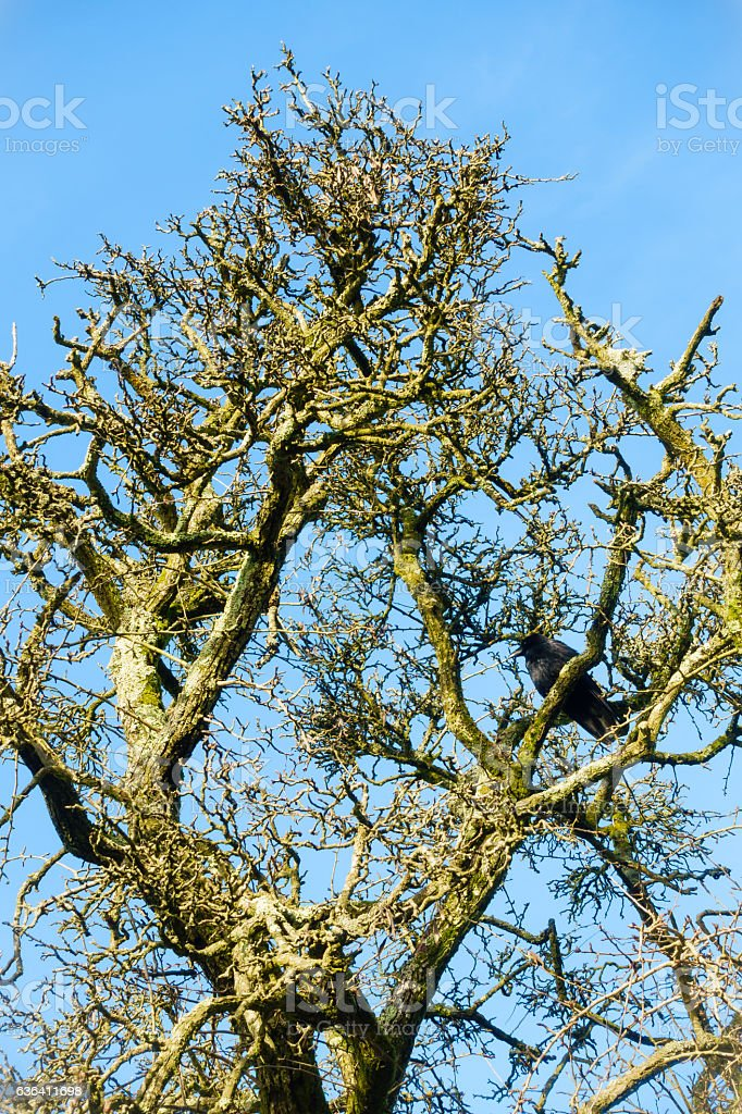 Leafless Tree in Winter with a Crow stock photo