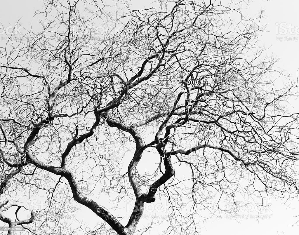 Leafless Twisted Branches Black Tree Silhouette stock photo