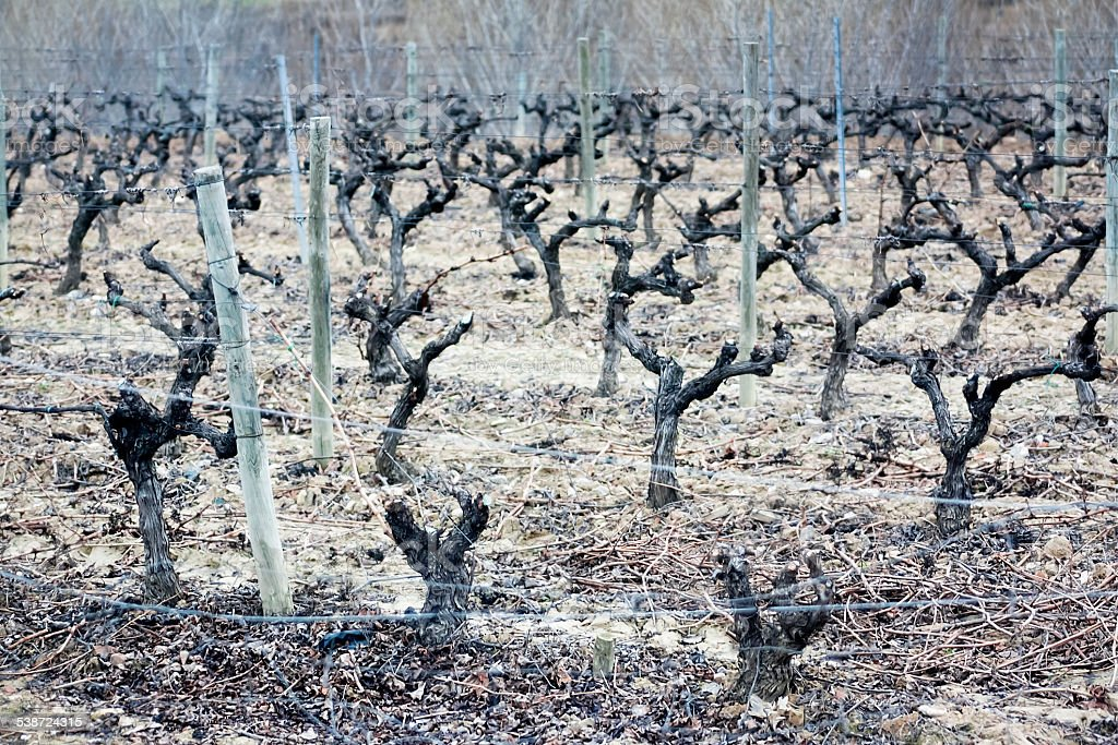 Leafless vines and vine shoots stock photo