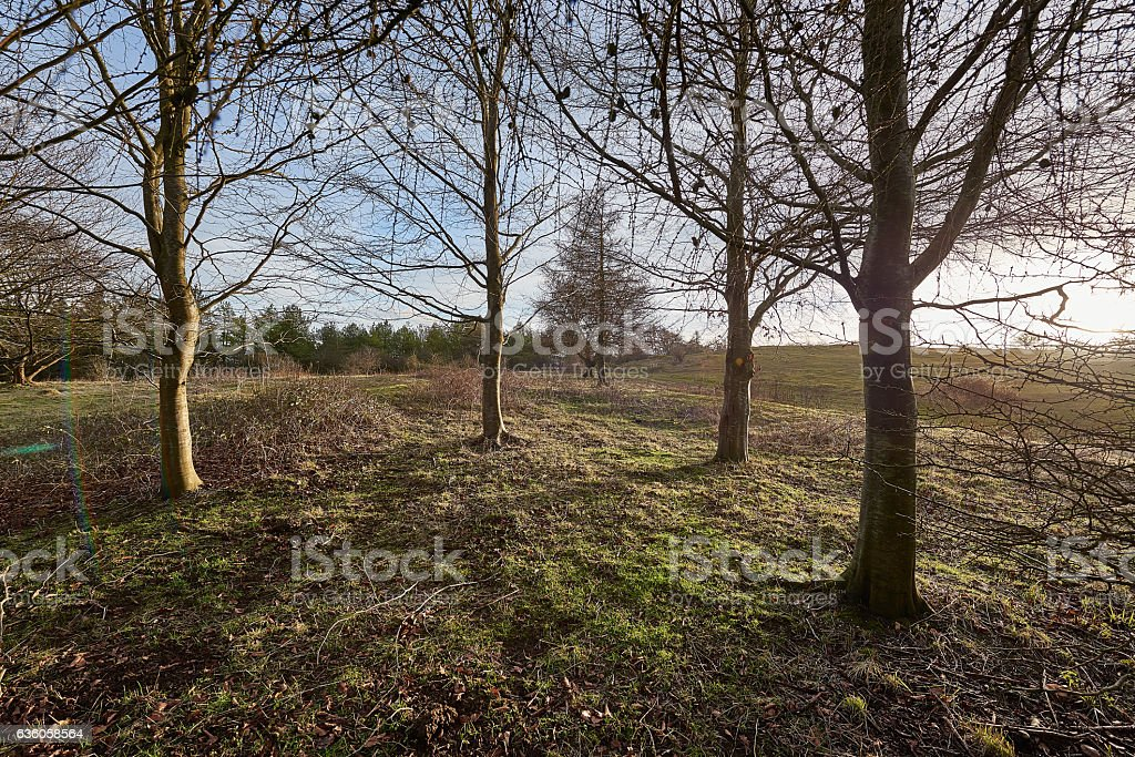 Leafless winter trees in the winter sun stock photo