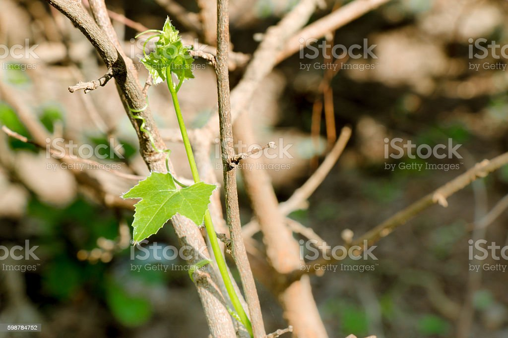 leaflet is growthing on the branch stock photo