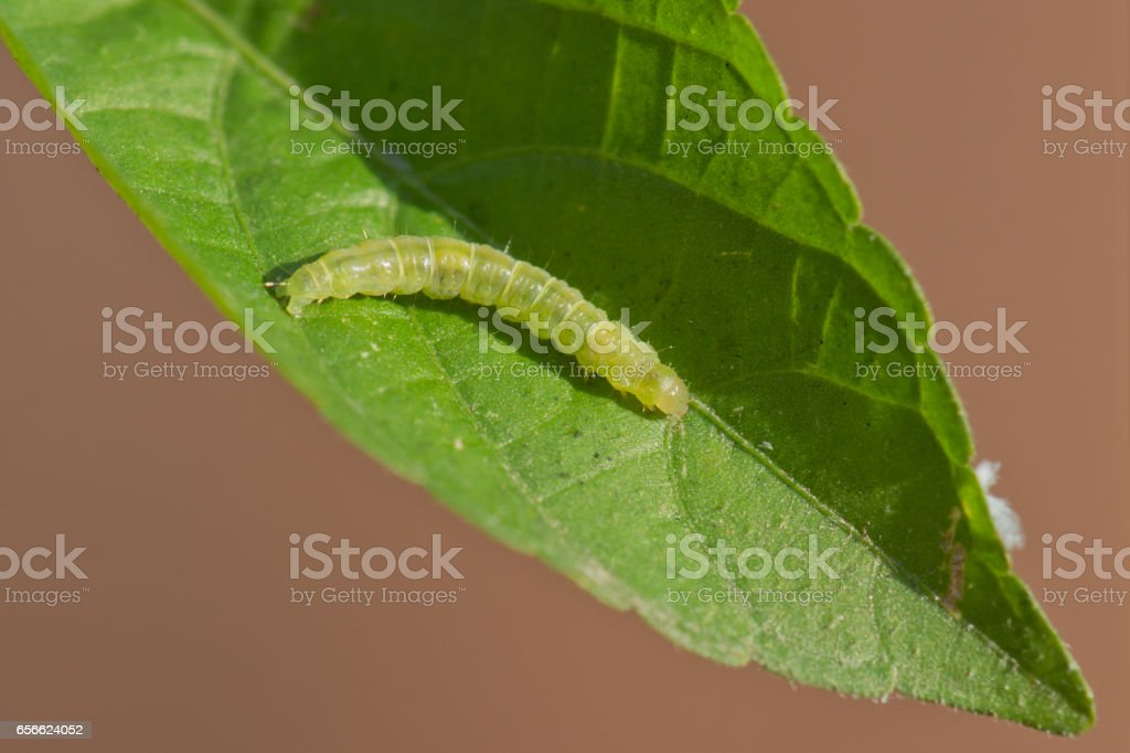 Leafroller caterpillar on a green leaf stock photo