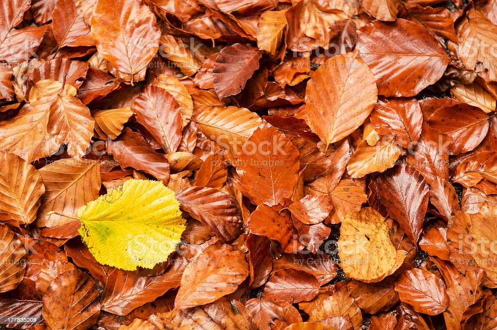 leafs, autumn colors royalty-free stock photo