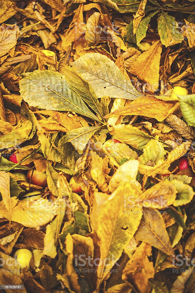 Leafs in autumn royalty-free stock photo