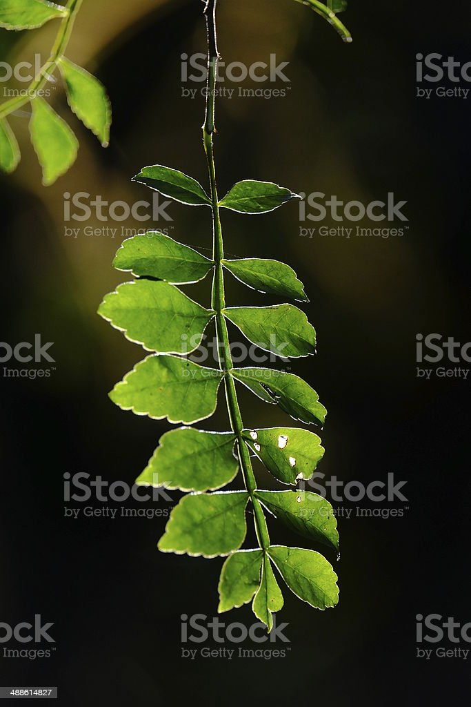 leafs in the black background stock photo