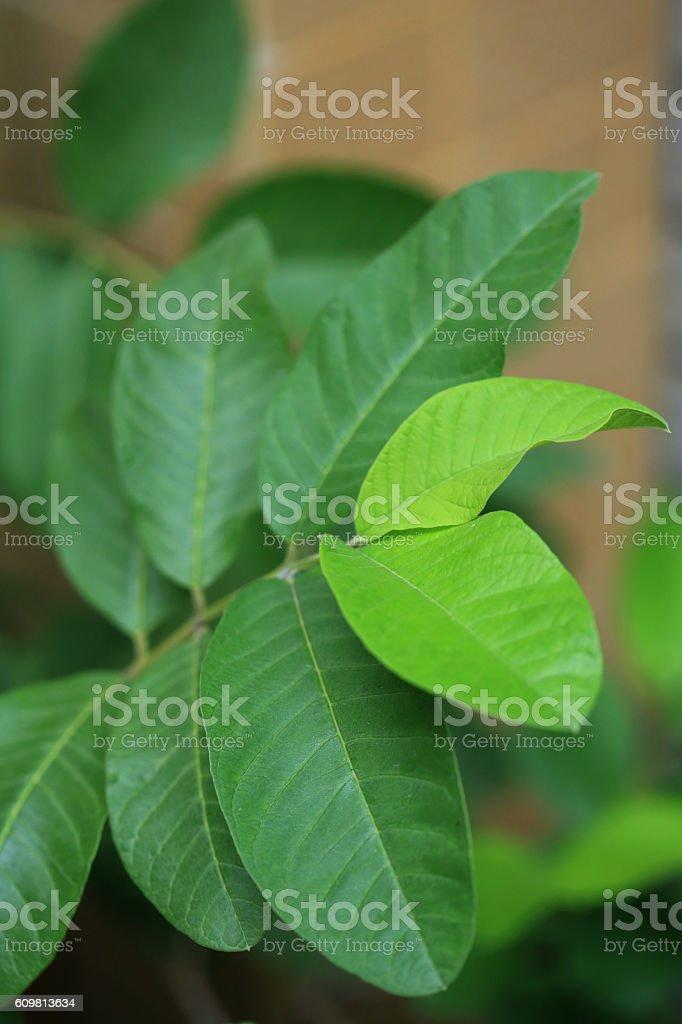 Leafs of Psidium guajava stock photo