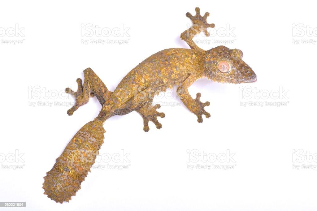 Leaf-tailed gecko, Uroplatus henkeli stock photo