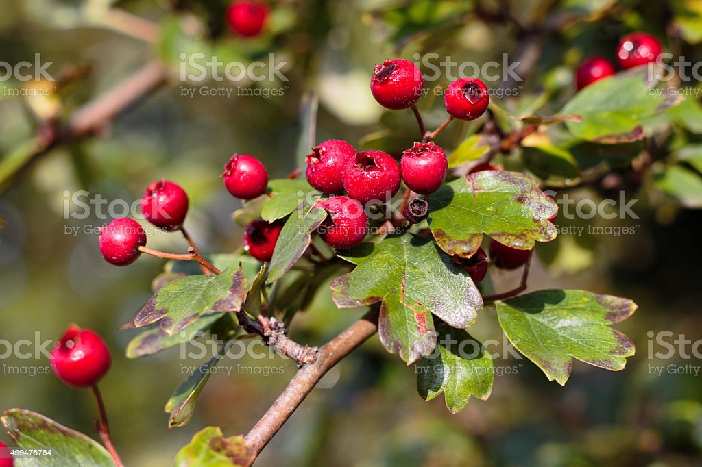 Leafy branch with red hawthorn berries close up stock photo