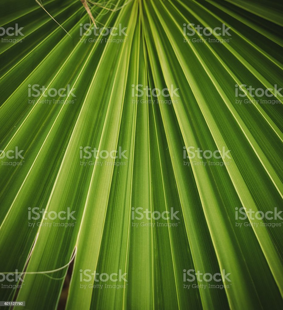 Leafy pattern. The hamerops palm leaf stock photo