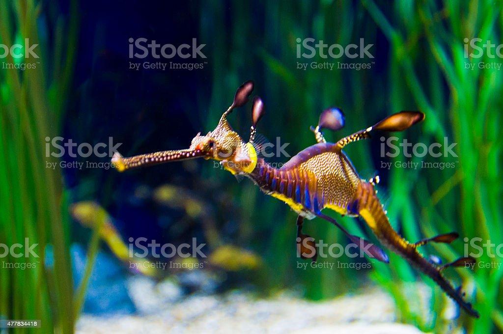 Leafy Sea Dragon stock photo