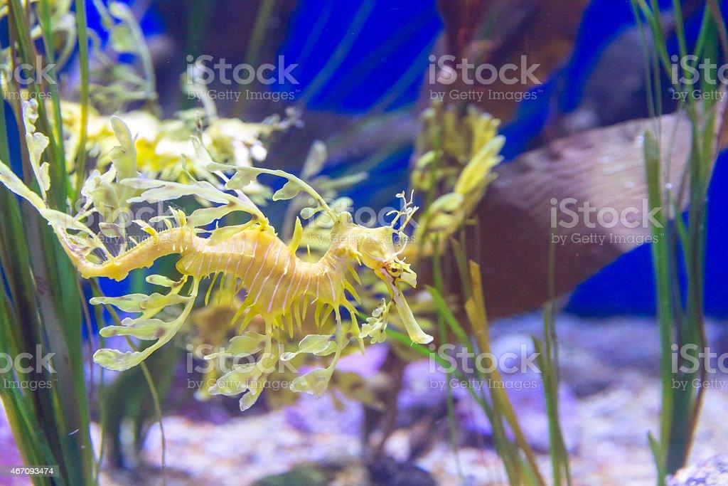 Leafy Sea Dragons stock photo