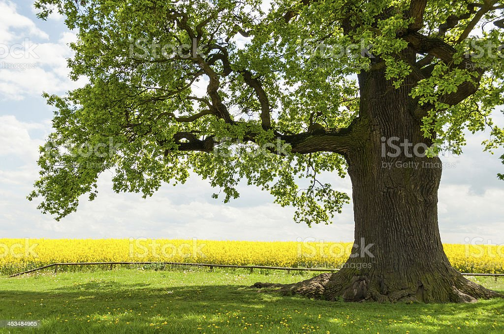 Leafy single oak at yellow rape field stock photo