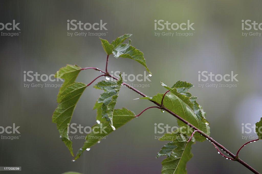 Leafy twig in the rain royalty-free stock photo