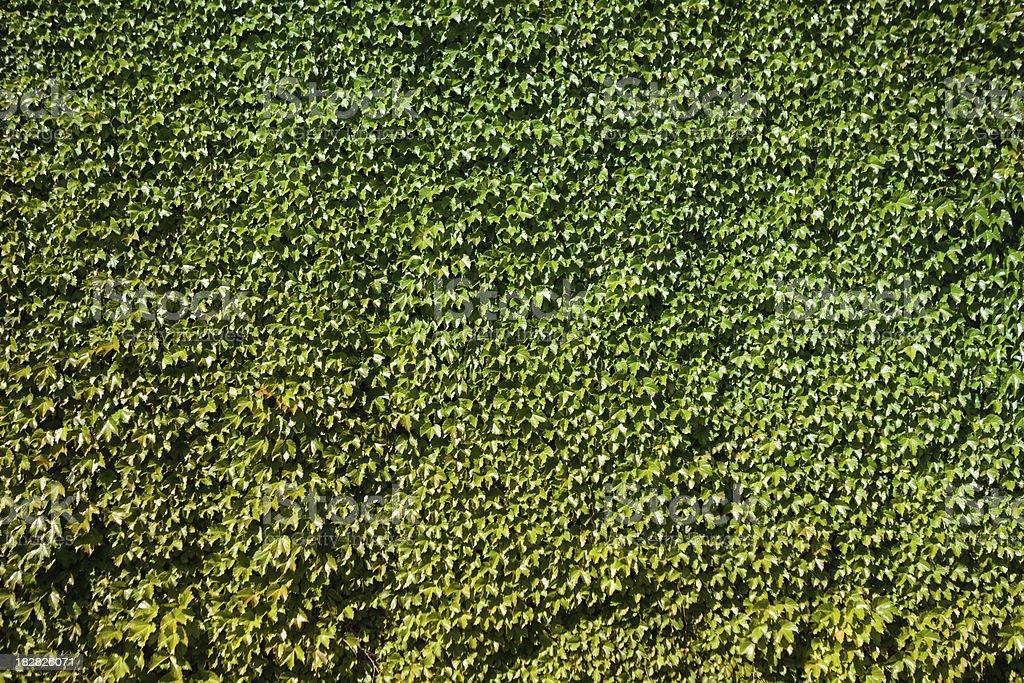 Leafy wall at Harvard University royalty-free stock photo