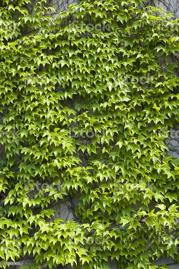 Leafy wall of ivy royalty-free stock photo