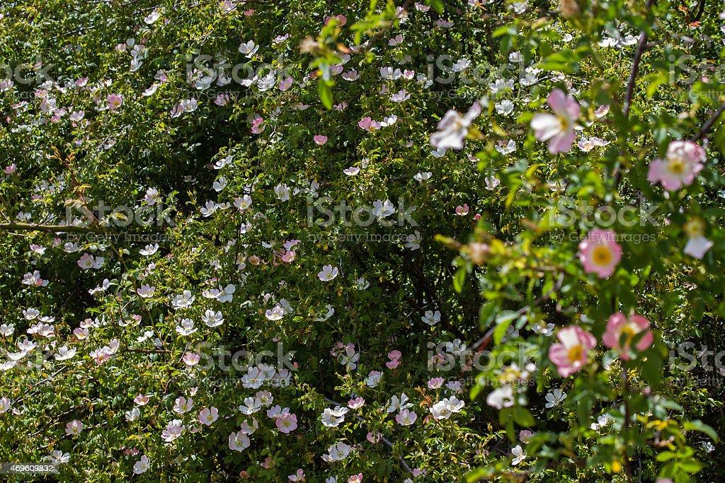 Leafy Wild Rose - Frondoso Rosal Silvestres stock photo