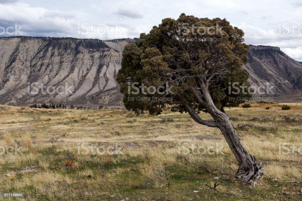 Leaning Juniper Tree stock photo