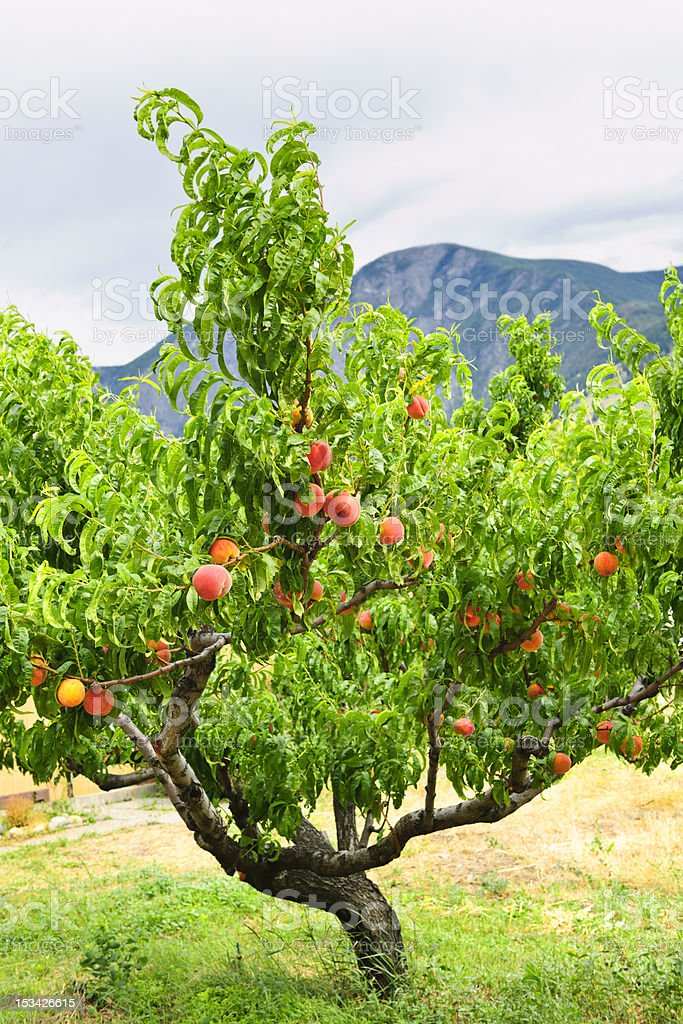 A leaning peach tree in front of mountains stock photo