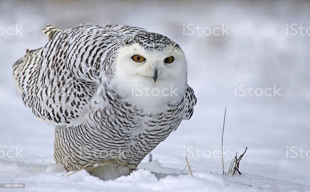 Leaning Snowy Owl stock photo