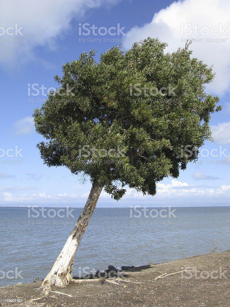 Leaning Tree Coastline Pacific Ocean stock photo
