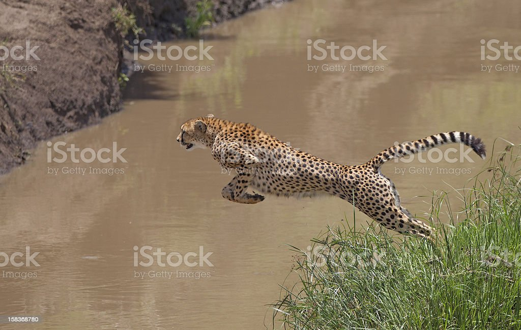 Leaping Cheetah stock photo