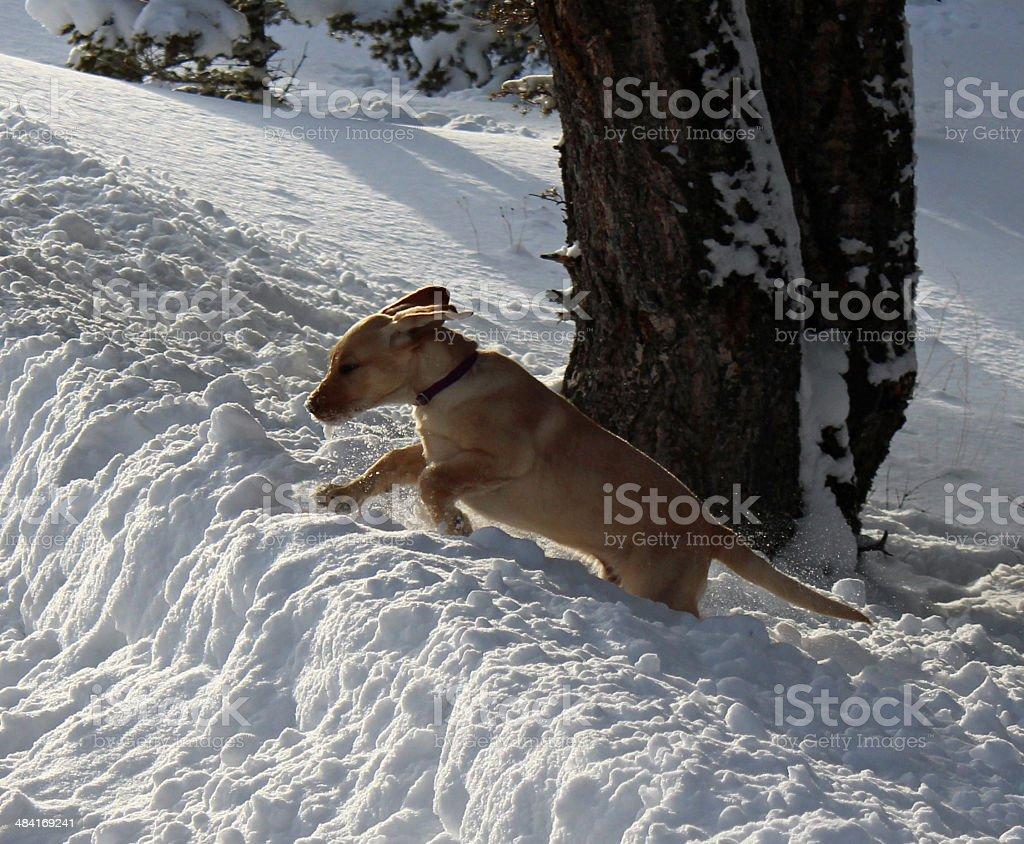Leaping - deep snow stock photo
