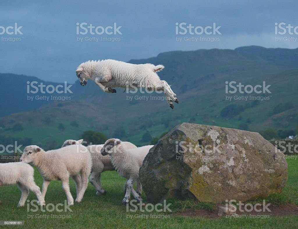 Leaping Lamb stock photo