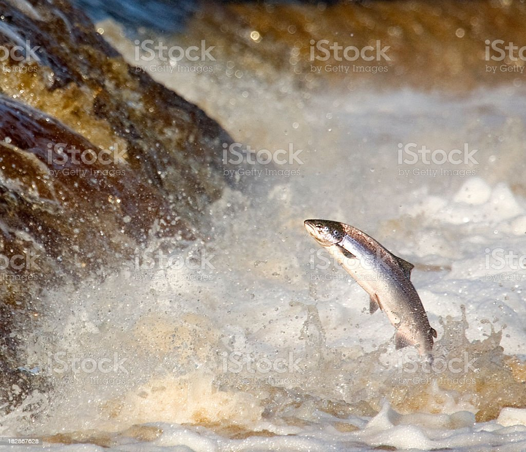 Leaping Salmon stock photo