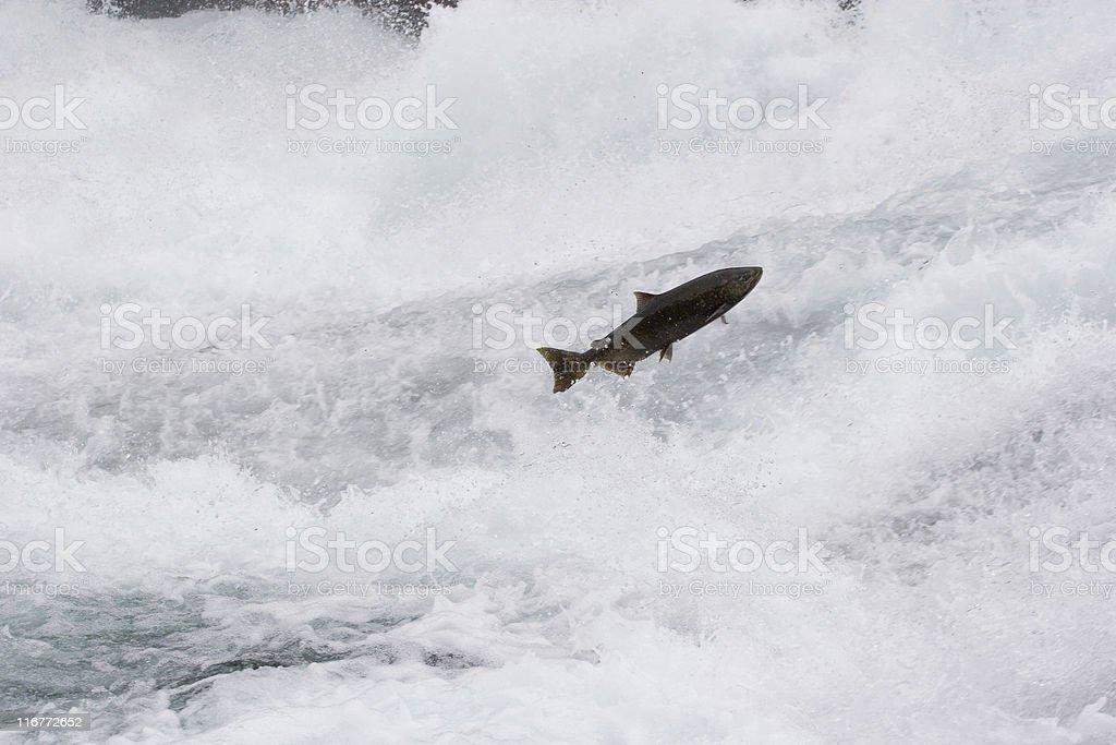 Leaping salmon, rushing river stock photo