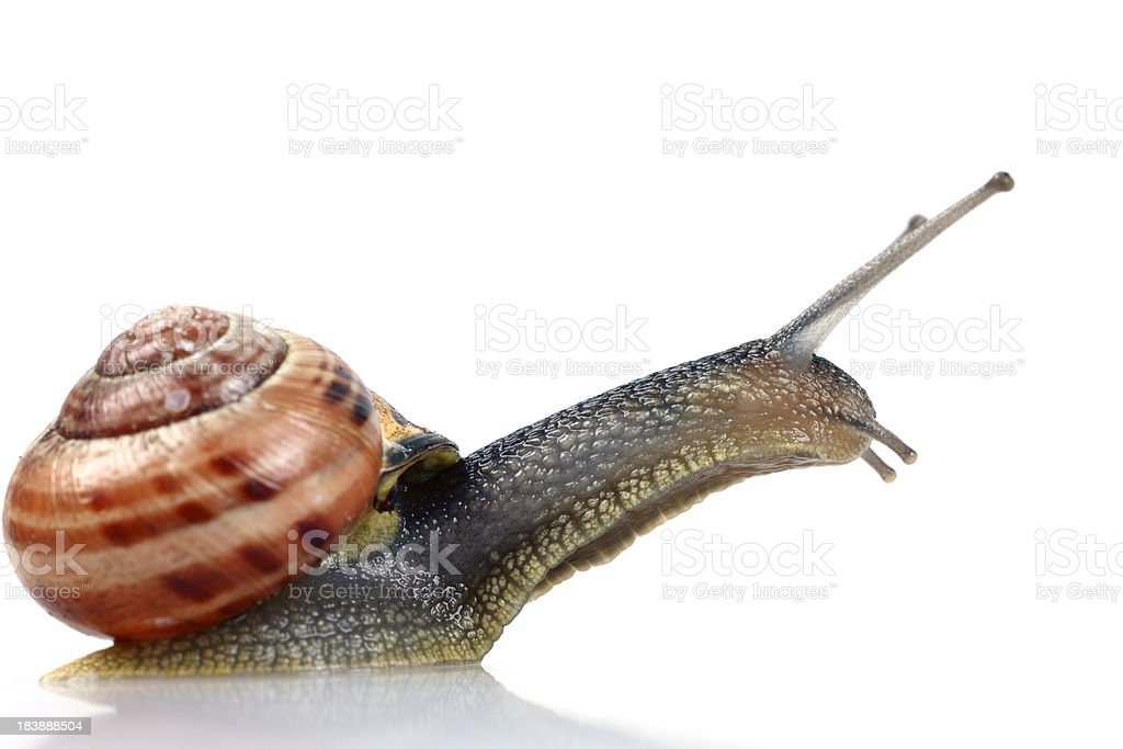 Leaping Snail, Isolated on White stock photo