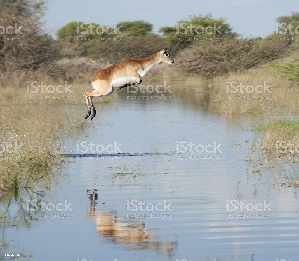Leaping southern  lechwe stock photo