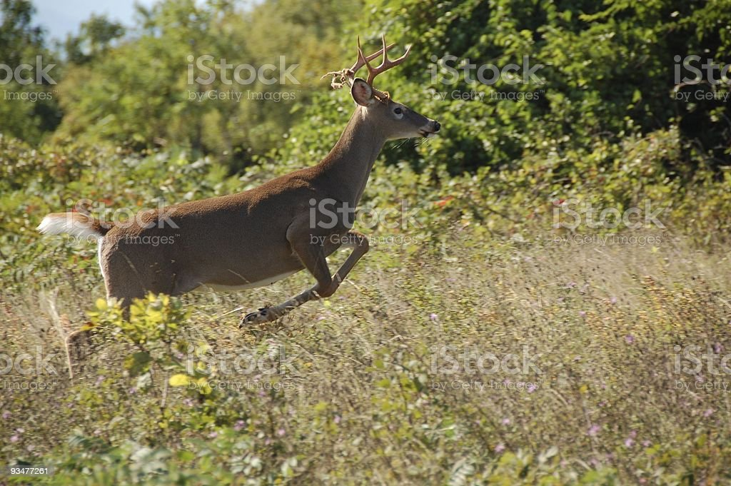 Leaping Stag stock photo
