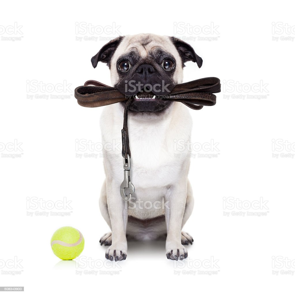 leash dog ready for a walk stock photo