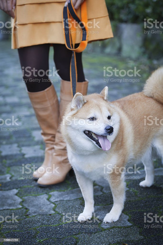 Leashed Shiba Inu Dog Walked by Japanese Woman in Boots stock photo