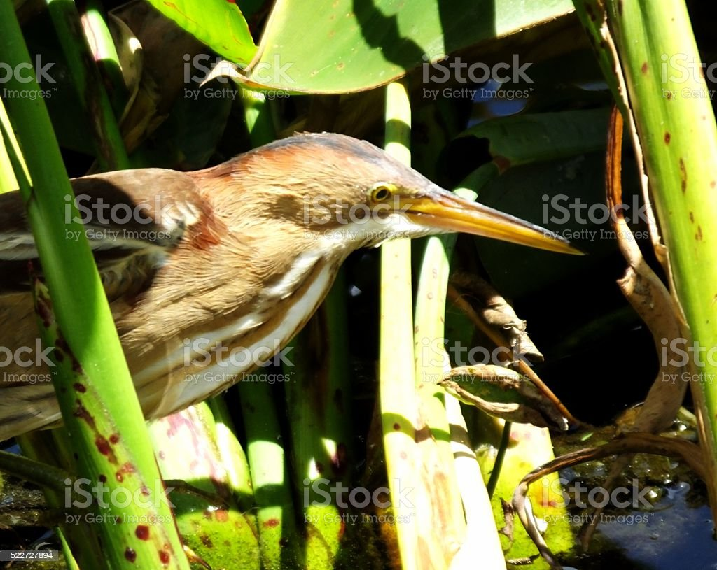 Least Bittern (Ixobrychus exilis) stock photo