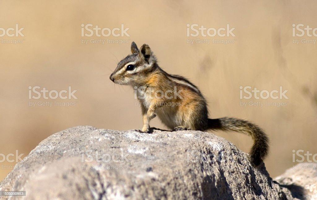 Least Chipmunk (Tamias minimus) on a Rock stock photo