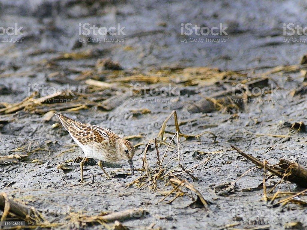 Least Sandpiper Feeding In Mud stock photo