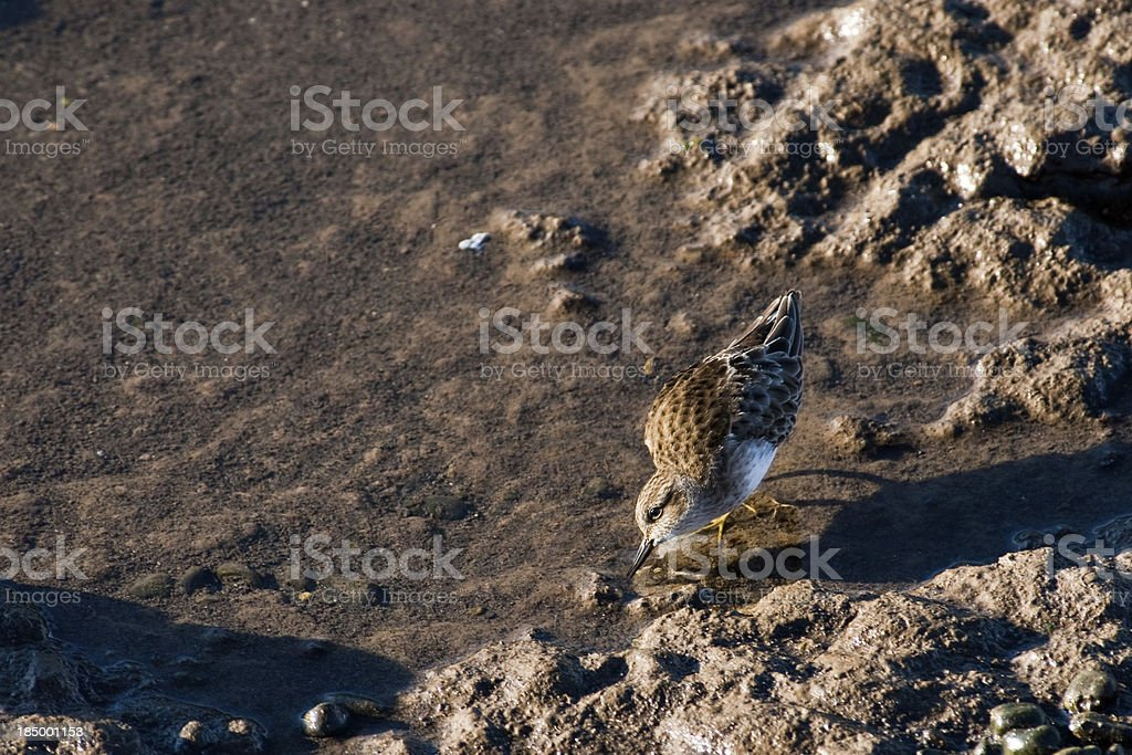 Least Sandpiper Feeding in the Mud stock photo