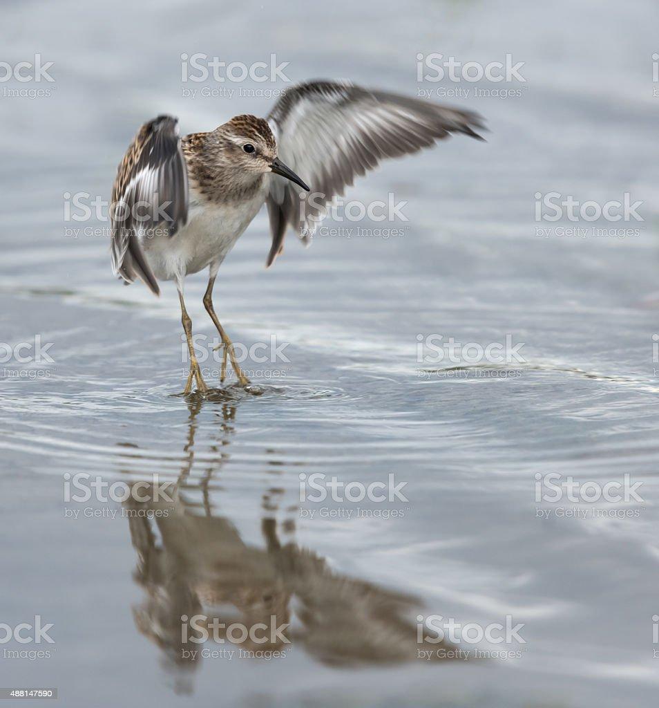 Least Sandpiper Landing stock photo