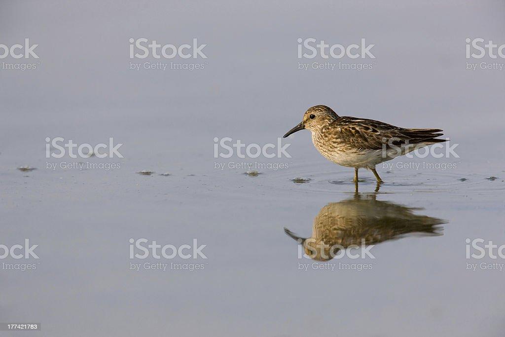 Least Sandpiper stock photo
