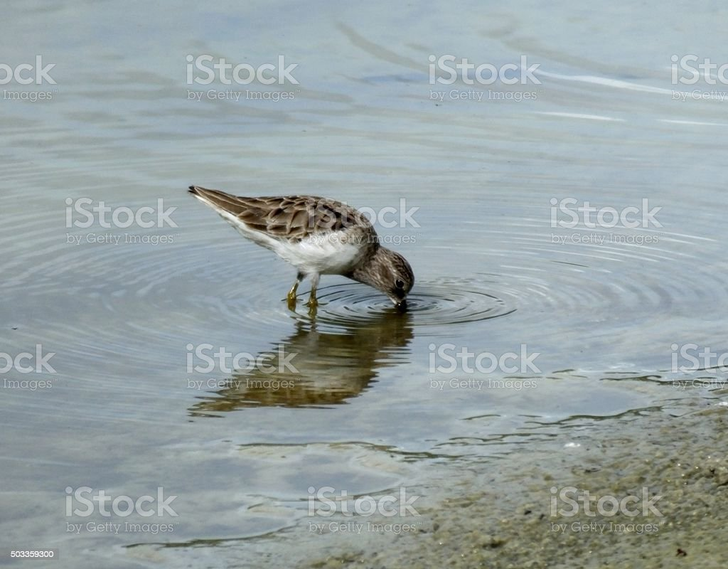 Least Sandpiper (Calidris minutilla) stock photo