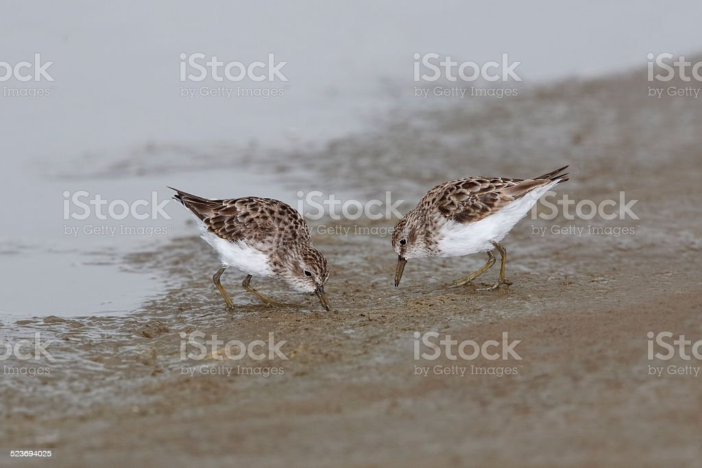 Least Sandpipers Foraging on a Mudflat - Texas stock photo