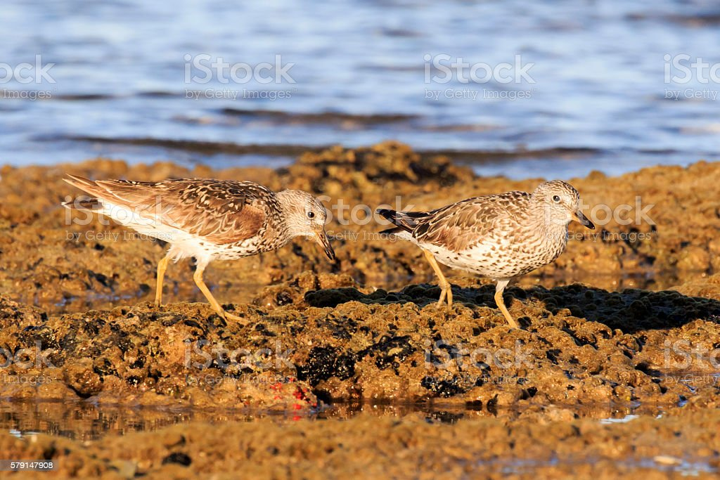 Least Sandpipers stock photo