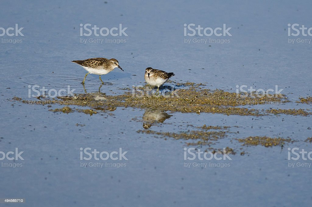 Least Sandpipers Searching for Food in the Shallow Blue Water stock photo