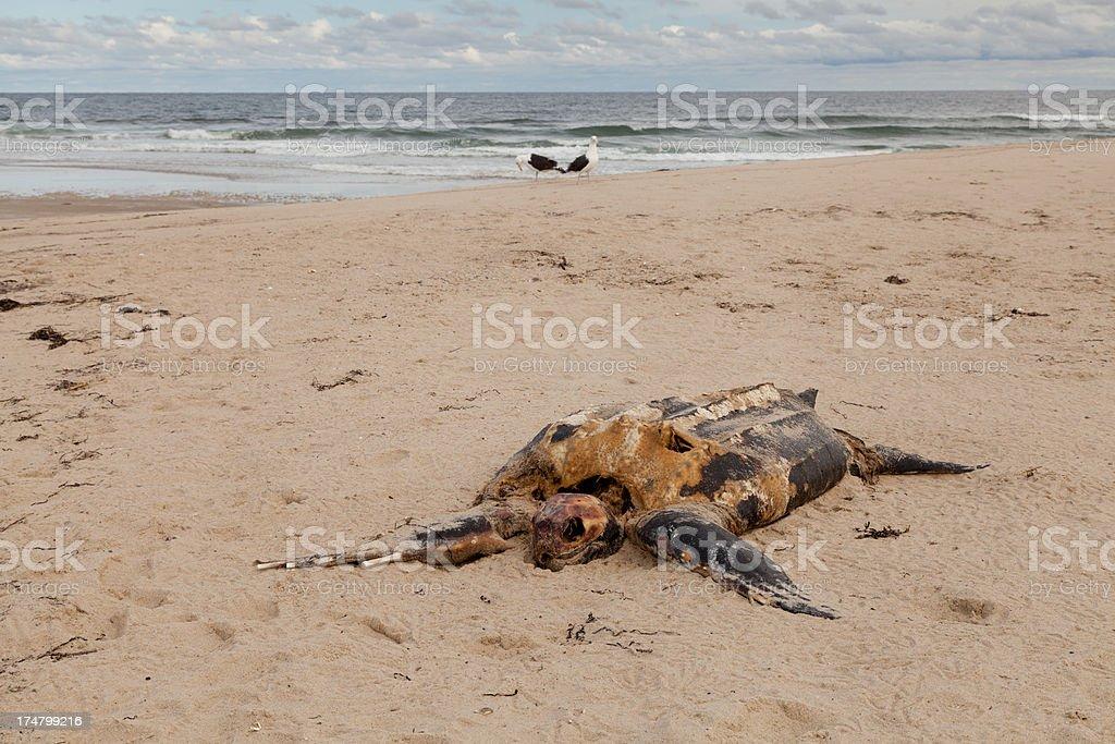 Leatherback Sea Turtle carcas on beach royalty-free stock photo