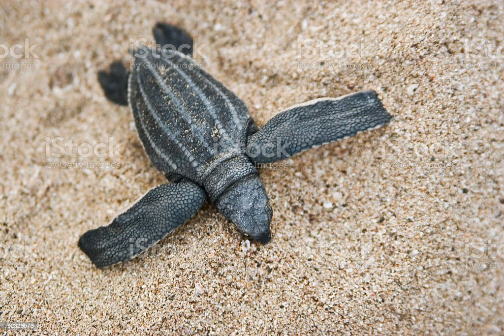 leatherback sea turtle hatchling royalty-free stock photo