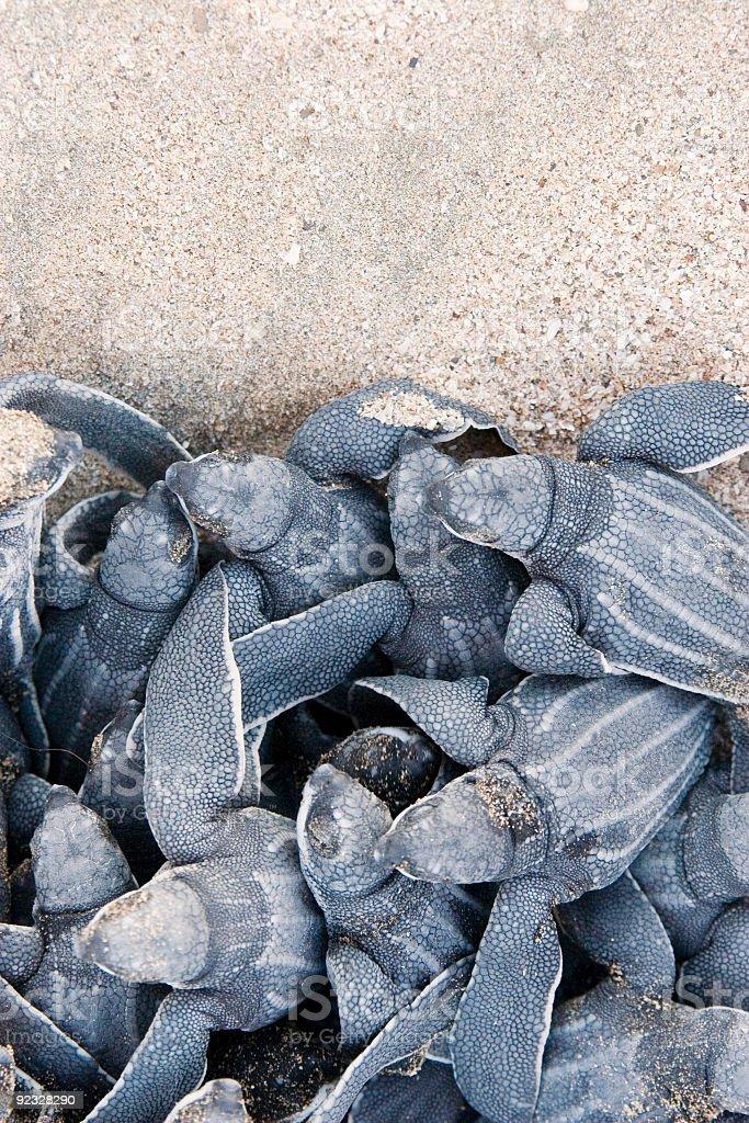 leatherback sea turtle hatchlings stock photo
