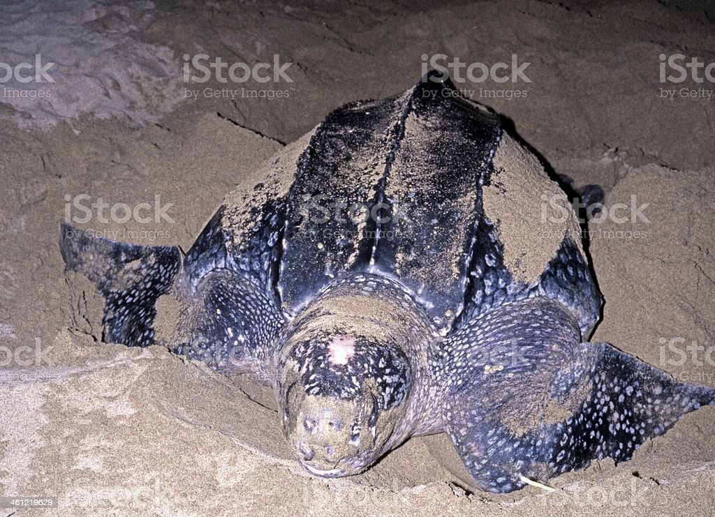Leatherback turtle, Tobago. stock photo
